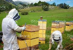Commercial Beekeepers with Beehives royalty-free stock photo Stock Imagery, Bee Keeping, Image Now, New Zealand, Royalty Free Stock Photos, Commercial, Beekeeping
