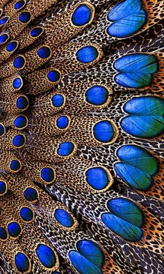 Bornean Peacock Pheasant Feathers Would make a great Afghan pattern Pheasant Feathers, Peacock Feathers, Peacock Colors, Peacock Design, Peacock Blue, Peacock Art, Peacock Wings, Peacock Pattern, Bright Colors