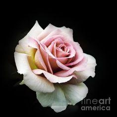 Vintage Pink Rose (Print) by Karen Lewis Vintage Pink, Black And Grey Rose Tattoo, Rose Reference, Rose Flower Tattoos, Flower Art Drawing, Unusual Flowers, Rose Photos, Floral Photography, Rose Wallpaper