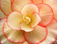 Gorgeous Tuberous Begonia