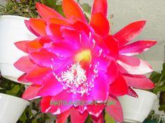 Epiphyllum hybrid 'Cadet'