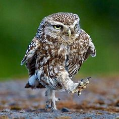 Best Funny Animals Birds Pictures Of 41 Ideas Funny Owls, Cute Funny Animals, Funny Animal Pictures, Cute Baby Animals, Funny Photos, Baby Owls, Beautiful Owl, Animals Beautiful, Owl Bird
