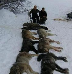 Reinstate Wolves Under Federal Protection Permanently - when will humans stop killing? We dont' evolve until we stop!!!