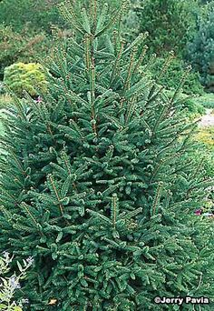 Norway spruce. Beautiful full pine tree. This is the kind of tree they use for Rockefeller Center Christmas tree