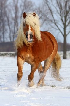 Haflinger in the snow. Although Haflingers don't look like the typical draft h… - Best Equitation Horse Horses In Snow, Cute Horses, Horse Love, Wild Horses, Show Horses, Black Horses, All The Pretty Horses, Beautiful Horses, Animals Beautiful