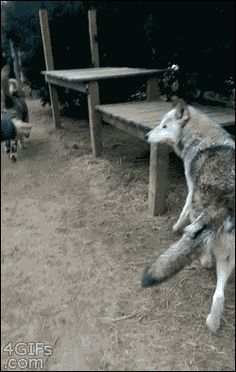 Ever wonder how big the Game of Thrones direwolves actually are? <<<…