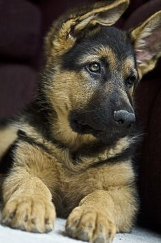 German Shepherd pup! check out those ears!!!
