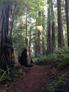Amidst redwoods on the lush Miner's Ridge Trail in Humboldt, CA.