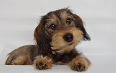 Weenie Dogs, Dachshund Puppies, Dachshund Love, Dogs And Puppies, Daschund, Doggies, Cute Funny Animals, Cute Baby Animals, Animals And Pets