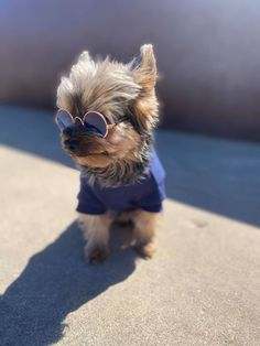 Baby Animals, Cute Animals, Yorkie Clothes, Terrier Breeds, Pomsky, Yorkshire Terrier Puppies, Yorkie Puppy, Yorkies, Christmas Photos