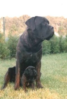 Cane Corso will be mine