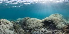 Australia's Great Barrier Reef is currently undergoing its most severe coral bleaching episode in recorded history, new data and images show. Bleaching ...