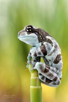 Amazon milk frog. It seems relaxed but, it's not what you called seated...