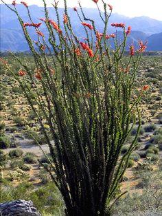 Fouquieria splendens (Ocotillo) #3463
