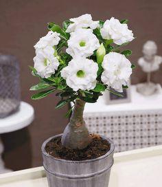 Adenium obesum - Desert Rose - Wüstenrose gefüllt 'Schneeweiß'