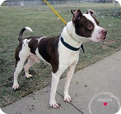 Sidney, OH - Pit Bull Terrier Mix. Meet Bandit, a dog for adoption. http://www.adoptapet.com/pet/14845166-sidney-ohio-pit-bull-terrier-mix