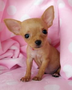 Effective Potty Training Chihuahua Consistency Is Key Ideas. Brilliant Potty Training Chihuahua Consistency Is Key Ideas. Cute Puppies, Cute Dogs, Dogs And Puppies, Doggies, Beautiful Dogs, Animals Beautiful, Cute Baby Animals, Funny Animals, Chihuahua Love