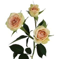 Creamy Pink Spray Roses - The the petite size and the pink fading into cream is very romantic