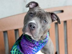 PAULTON - A1114837 - - Brooklyn  TO BE DESTROYED 06/17/17 **ON PUBLIC LIST** -  Click for info & Current Status: http://nycdogs.urgentpodr.org/paulton-a1114837/