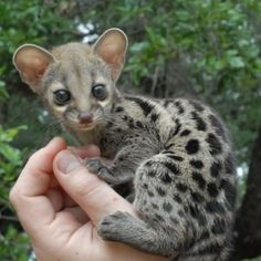 Genet --they used to be pets in medieval days. So cute.