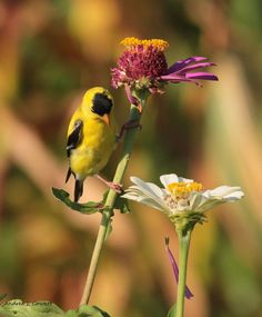 OOPS!@ by Andrea Cowart on Capture Memphis // The look on the goldfinches face was priceless