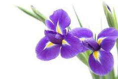Kuvahaun tulos haulle iris flower