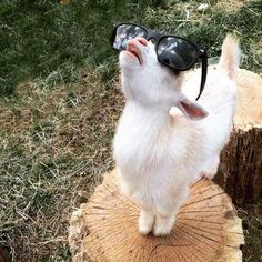 Die mit Abstand coolste Ziege der Welt   Webfail - Fail Bilder und Fail Videos