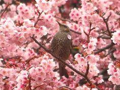 3/1の寒桜、この日は雨模様だったので、ヒヨドリも 自分の体に花びらをつけながら、仕切りに花の蜜を すっていました(笑)