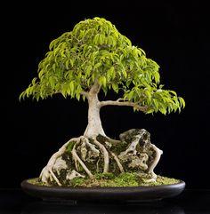 Ficus (Ficus) Bonsai                                                       …