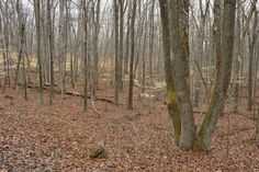 The lower leaves are shown in the understory of American beech at Banshee Reeks Nature Preserve in late winter
