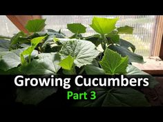 Plant Your Cucumbers In Your Spring Garden. Cucumbers are one of the most popular garden crops of all time. They are easy to grow, but sometimes do not trans. Cucumber Plant, Cucumber Seeds, Greenhouse Plants, Tomato Farming, Gardening Magazines, Weed Seeds, Different Plants, Back Gardens, Spring Garden