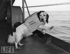 """Dog's life at sea: """"Butch"""" O'Brien wearing his life vest aboard a US Navy ship in the Sea of Japan, 1944."""
