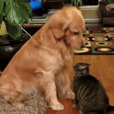 golden retriever pets cat