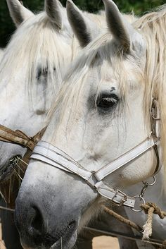 Traits Percheron et Boulonnais