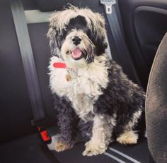 Tibetan terrier ....the best family pet !!