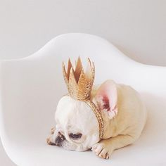'The King', French Bulldog Love My Dog, Puppy Love, Cute Puppies, Cute Dogs, Dogs And Puppies, Doggies, Animals And Pets, Baby Animals, Cute Animals