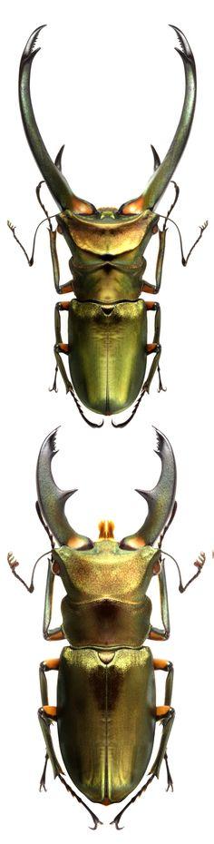 Cyclommatus elaphus