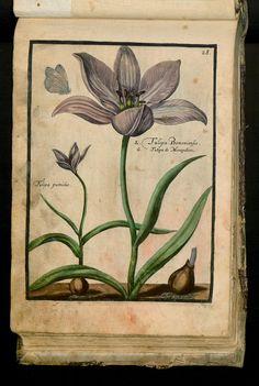 43 - XXVIII. Tulipa Tenuifol. Pumilio. Narbonensis. - Seite - Inhouse-Digitalisierung
