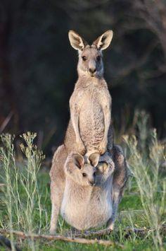 Eastern Grey Kangaroo and Joey - Wildlife, Beautiful & Amazing, Endangered, Flourishing - Cute Baby Animals, Animals And Pets, Funny Animals, Beautiful Creatures, Animals Beautiful, Photo Animaliere, Australia Animals, Tier Fotos, Animal Photography