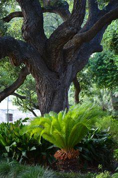 Alamo Oak Tree