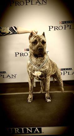 Conquistador K-9 | Presa Canario Puppies For Sale