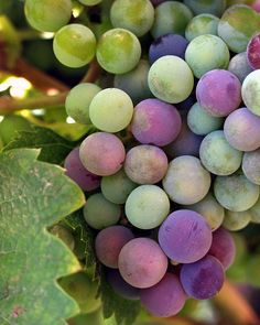 ripening grapes. beautiful colours.