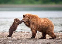 Regram Check out this awesome account for the best wildlife photos! Grizzly Bear Mother And Cub Playing Photography By © Sergei Ivanov Nature Animals, Animals And Pets, Baby Animals, Funny Animals, Cute Animals, Wild Animals, Baby Pandas, Wildlife Photography, Animal Photography