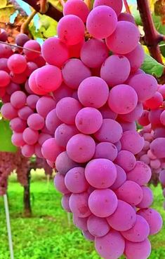 Grapes from my Fathers farm Meanwhile check out our vintage products on our etsy store Colorful Fruit, Tropical Fruits, Exotic Fruit, Fruit Plants, Fruit Garden, Fruit Trees, All Plants, Grape Tree, Grape Vines