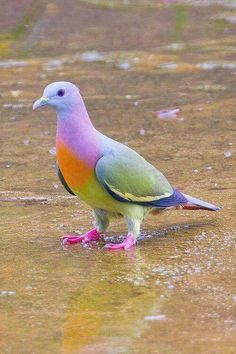 Rare Pink-Necked Green Pigeon, also known as fruit dove!
