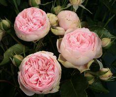 Garden Rose Bridal Piano - Lt Pink  (California grown)