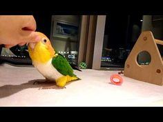 10____ White Bellied Caique