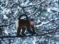 Rhinopithecus bieti  There are just about 2,000 snub-nosed monkeys left in the wild. They live in a tiny part of a forest in China's Yunnan Province