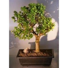 Bonsai Boy's Baby Jade Bonsai Tree Portulacaria Afra$295.00: www.amazon.com/Bonsai-Boys-Baby-Jade-Portulacaria/dp/B004XBL9ES/?tag=sure9600pneun-20