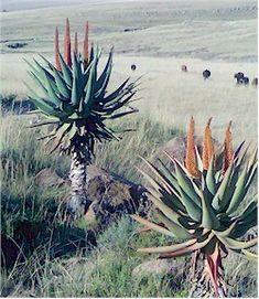 Typical Cape Alos, Aloe ferox. Picture from Wikipedia commons.  Patasitipedia.net